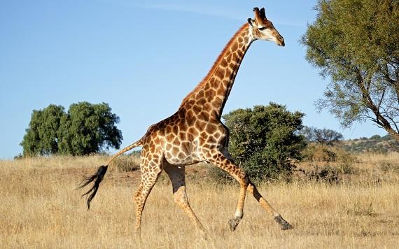 běžící žirafa