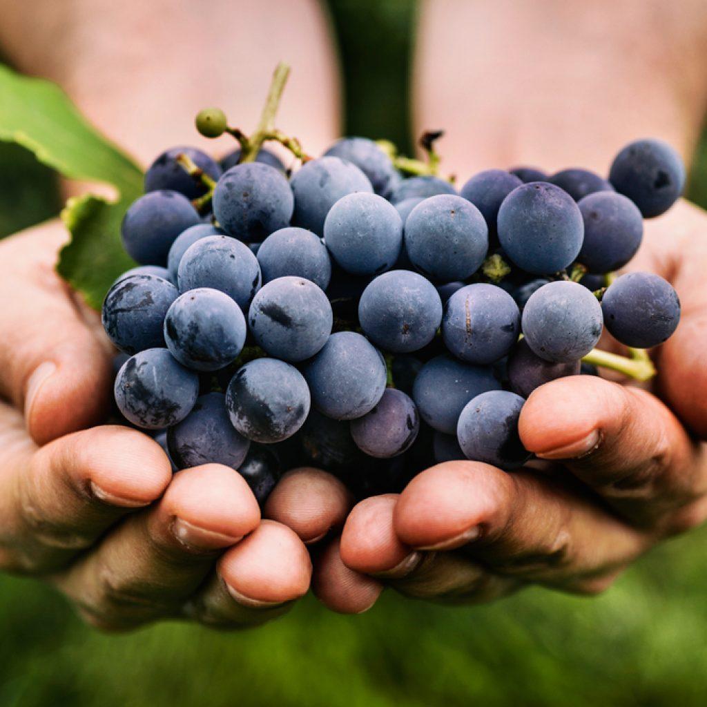 Imunitní podpora potravin - hrozny